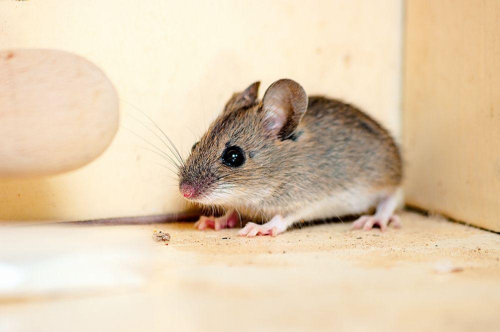 Mrtvá myš se stále zjevovala